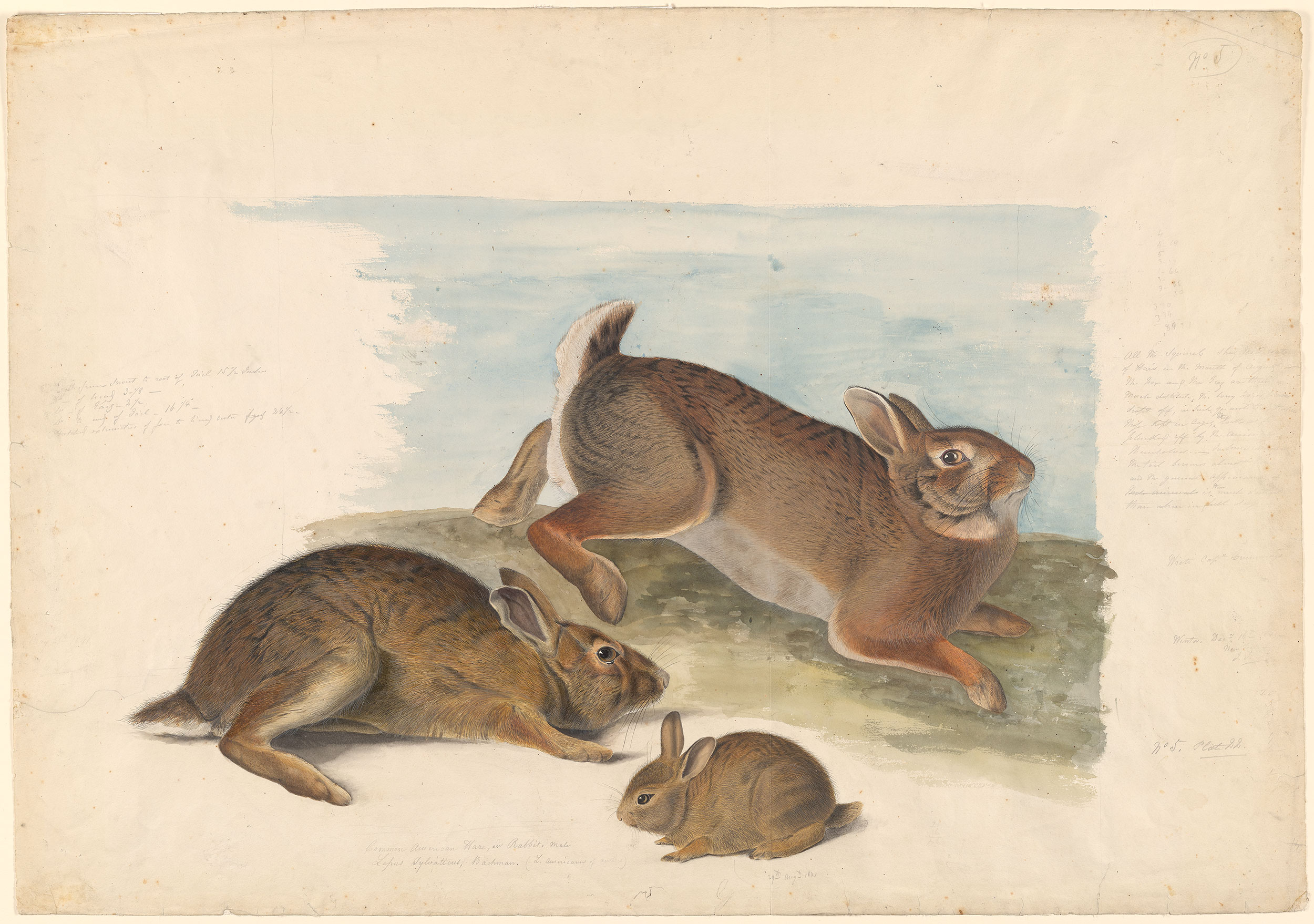 John James Audubon Gray Rabbit Old Male Female And Young Verso Drawing Of A Tail With