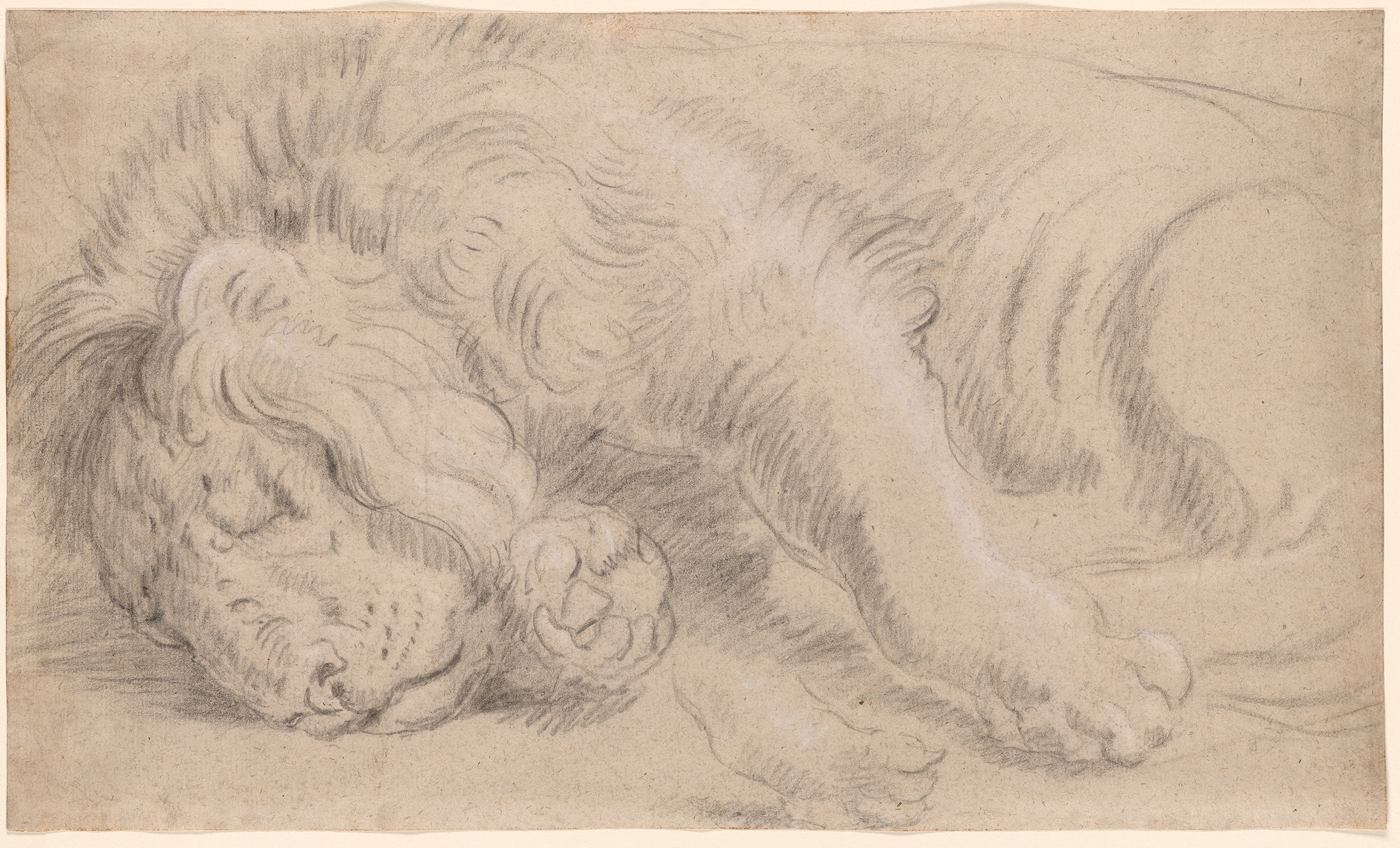 Attributed To Peter Paul Rubens Study Of A Sleeping Lion