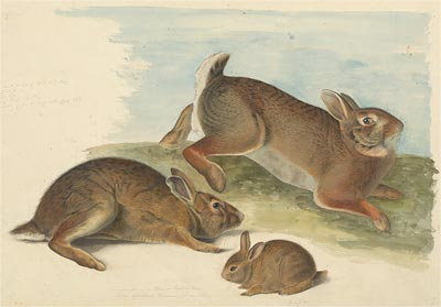 Image of Gray Rabbit: Old male, female, and young